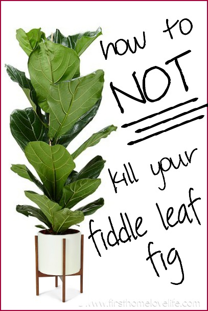 Fiddle Leaf Fig Care First Home Love Life