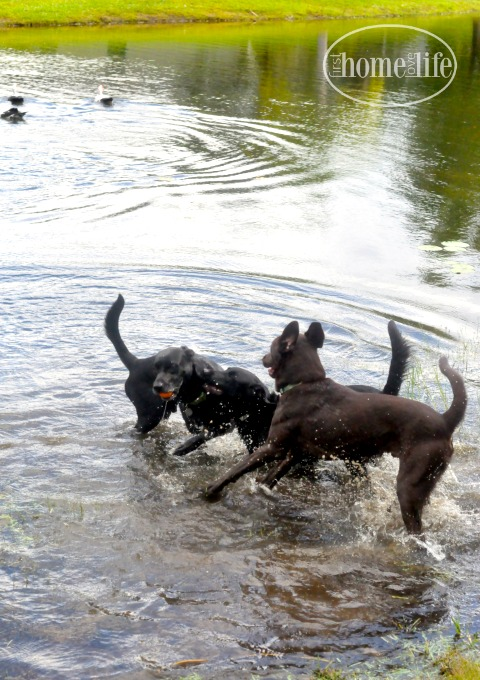 labradors-playing-in-water-via-firsthomelovelife-com