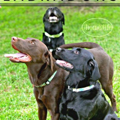 Owning Labradors