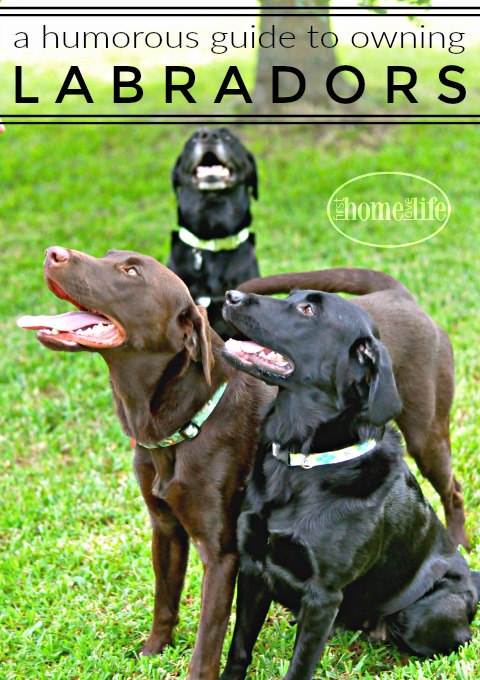 what-to-expect-when-owning-a-labrador-via-first-home-love-life-www-firsthomelovelife-com
